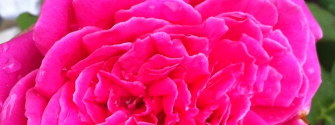Rosen pflanzen, Rosenpflege im Oktober