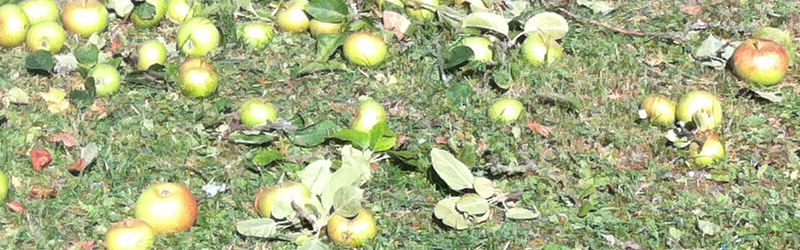 Verschnitt von Obstbäumen (Apfel, Birne, Kirsche, Pflaume)